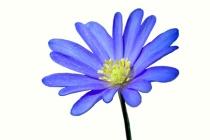 blume-blau